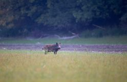 Wild boar on meadow in summer time Royalty Free Stock Images