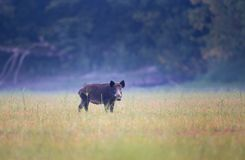 Wild boar on meadow in summer time Stock Photography