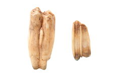 Wild boar molars over white Royalty Free Stock Photos