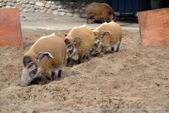 Wild boar in the Moscow zoo. Are running on the sand for each other royalty free stock photo