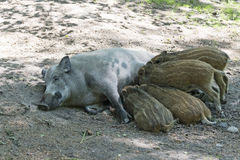 Wild boar mother and piglets suckling Stock Image