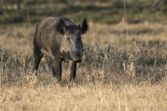 Wild Boar. Mother Sow Wild Boar Feral hog Walking Stock Images
