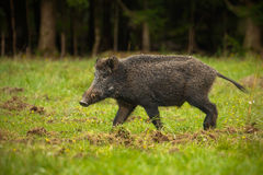 Wild boar on the move. Wild boar walking through forest clearing damage to the field clearly evident Royalty Free Stock Photos