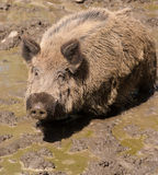 Wild boar in the mud Royalty Free Stock Photography