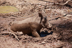 Wild Boar In Mud. Wild boar with tusks rolling in the mud stock image