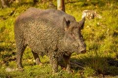 Wild boar after a mud bath in Quebec, Canada. Wild boar after a mud bath Royalty Free Stock Images