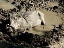 Wild boar in the mud Stock Images