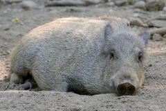 Wild Boar in the Mud Stock Photos