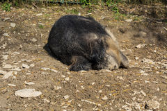 Wild boar in the mud Royalty Free Stock Image