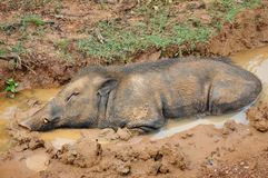 Wild boar in mud pool Stock Photos