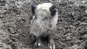 Wild boar in mud stock footage
