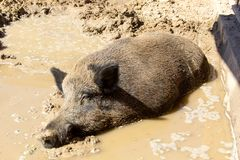Wild boar in the mud. Wild boar sleeping in the mud Stock Image