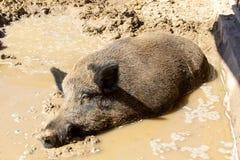 Wild boar in the mud. Wild boar sleeping in the mud stock image