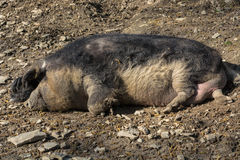 Wild boar in the mud Royalty Free Stock Photos