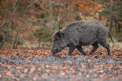 Wild boar in muddy forest royalty free stock image