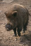 Wild boar with muddy snout trotting along Stock Photography