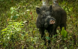 Wild boar. In a national park in India Royalty Free Stock Images