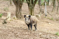 Wild boar near the forest Stock Photo