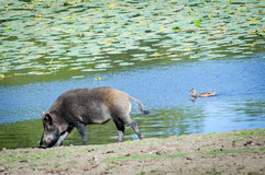 Wild boar near the water pond Royalty Free Stock Photo