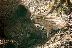 Wild boar nuzzling baby in the mud Royalty Free Stock Image