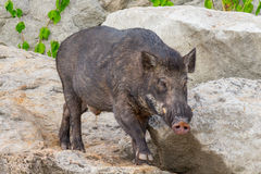 Wild boar. Old wild boar from Thailand Royalty Free Stock Photo