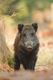 Wild boar with one eye Stock Photo