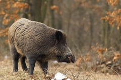 Wild boar with open chap Royalty Free Stock Photography