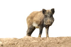 Wild boar over white Royalty Free Stock Photography