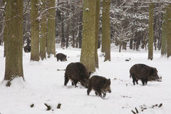 Wild boar pack. In the snow of winter forest, Europe Stock Images