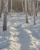 Wild boar path in snow, Russian forest, wild animals footprints, wild Stock Photography