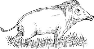 Wild boar or pig hog razorback Stock Images