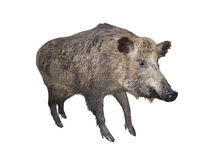 Wild boar pig, isolated over white Stock Photo