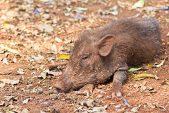 Wild boar. Or wild pig in Thailand. Some villagers feed it and eat it later Royalty Free Stock Images