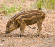Wild Boar Piglet Stock Photography