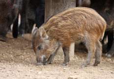 Wild-boar piglet Royalty Free Stock Images