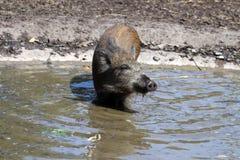 Wild Boar Piglet royalty free stock photos