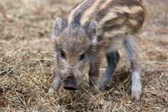 Wild Boar Piglet Stock Photos