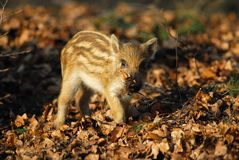 Wild boar, piglet Stock Images