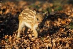 Wild boar, piglet Stock Images