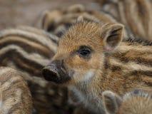 Wild boar piglet Stock Photo