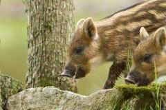 Wild-boar piglet Stock Photos