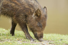 Wild-boar piglet Royalty Free Stock Photography