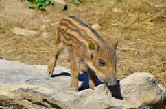 Wild boar piglet Stock Image