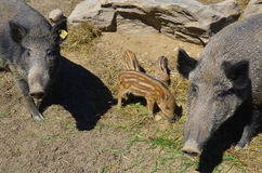 Wild boar piglet Royalty Free Stock Images