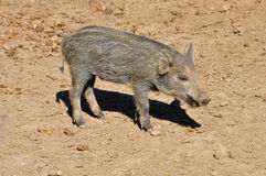 Wild boar piglet Royalty Free Stock Photo
