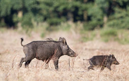Wild boar with piglet Stock Image