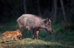 Wild boar with piglet in forest stock photos