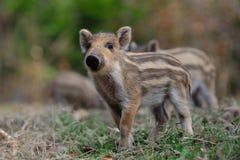 Wild boar piglet in the forest, spring. Wild boar piglets in the forest, spring,  sus scrofa Stock Photography
