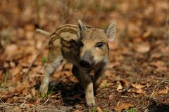 Wild boar piglet in the forest, spring. Sus scrofa stock photo