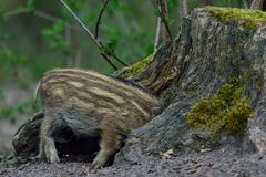 Wild boar piglet in the forest. Spring,  sus scrofa Stock Image